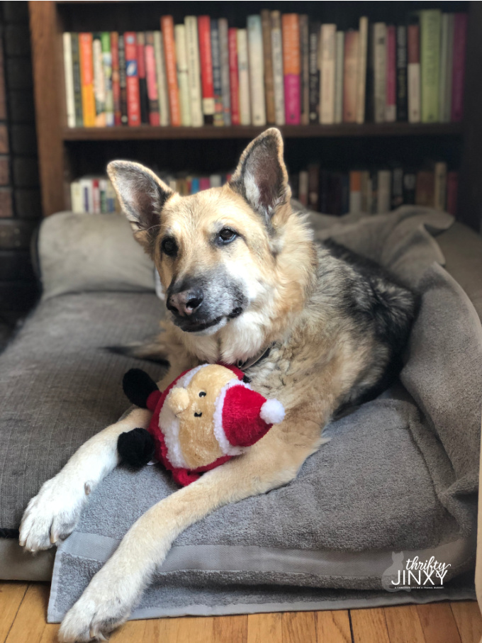 German Shepherd Dog with Santa Toy