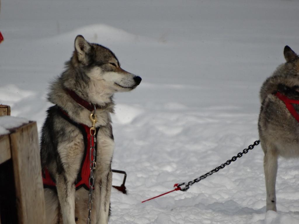 dog sledding in mont tremblant Quebec
