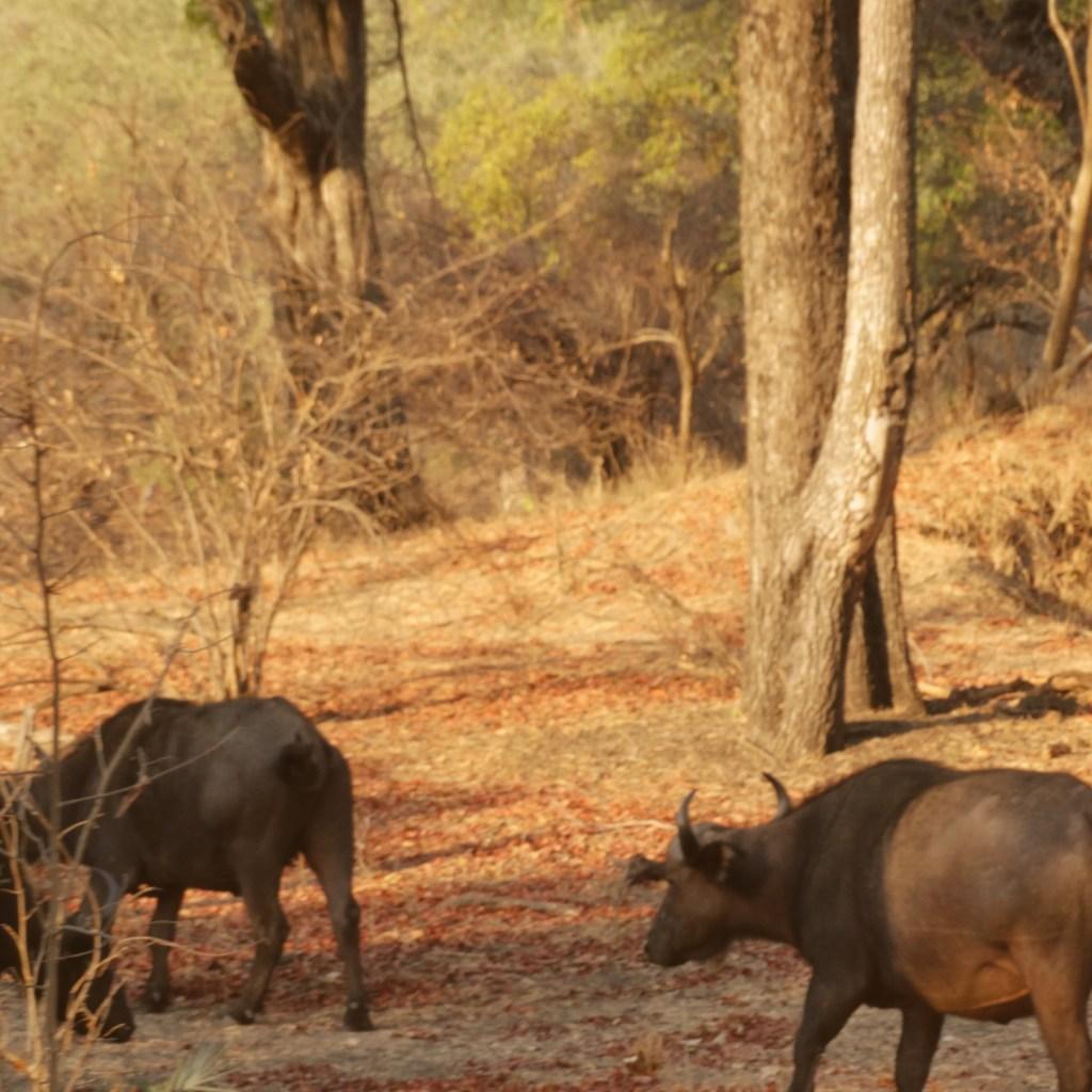 safari-bison