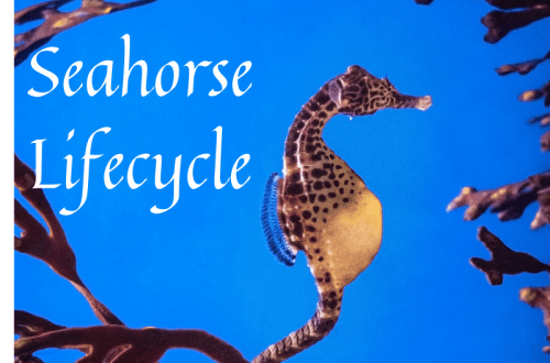 seahorse_lifecycle