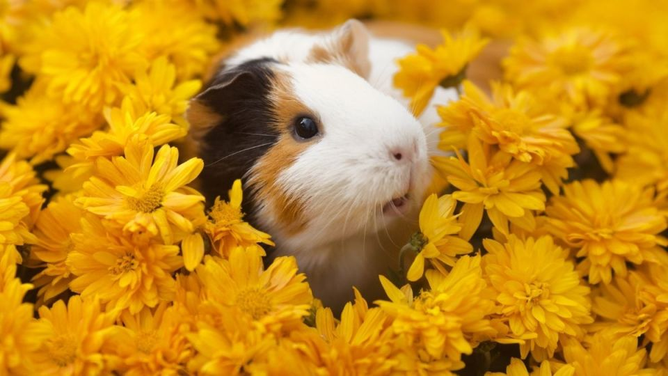 guinea_pig_in_yellow_flowers