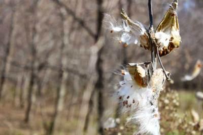milkweed01_web