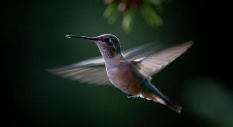 hummingbird-matthew-b-p