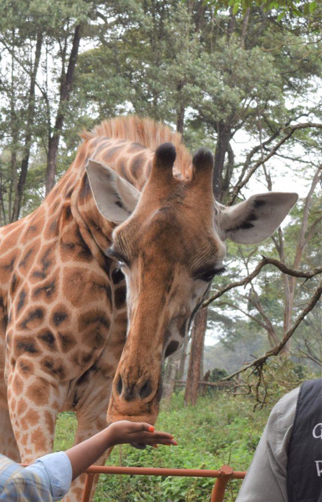 Black Travel Blogger Feeding thea Giraffe at The Giraffe Centre