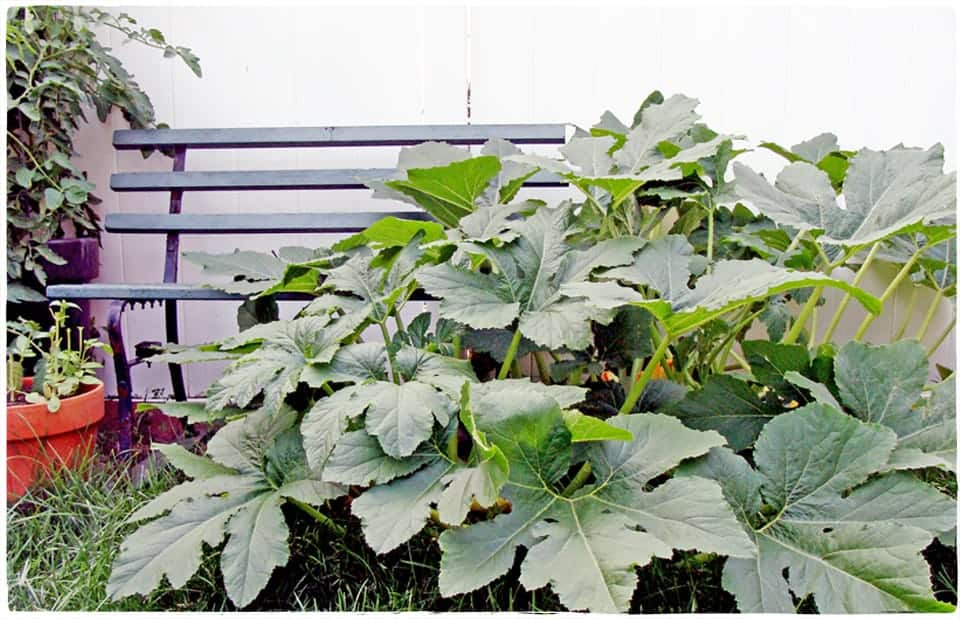 summer squash plant