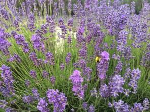 Evergreen Valley Lavender Farm 16