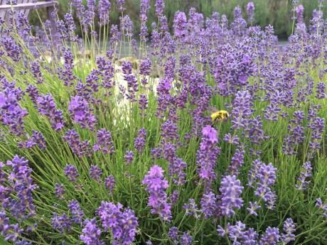 Evergreen Valley Lavender Farm 19