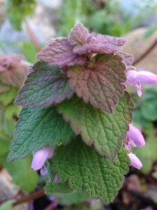 red-dead-nettle-Lamium-purpureum