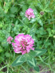 Trifolium pratense aude france