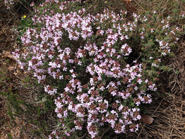 wild thyme aude southern france