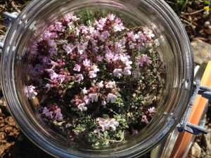 wild thyme tincture making aude france