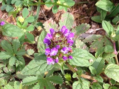 Prunella self heal flower leaf