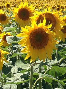 sunflower Helianthus annuus tournesol aude