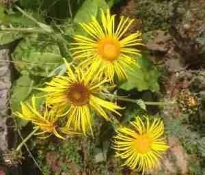 elecampane medicinal garden Thyme Breaks