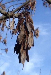 Fraxinus-common-european-ash-keys
