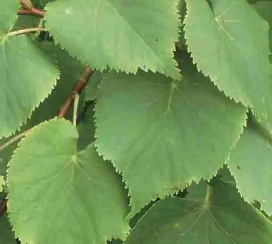 linden blossom or lime flower