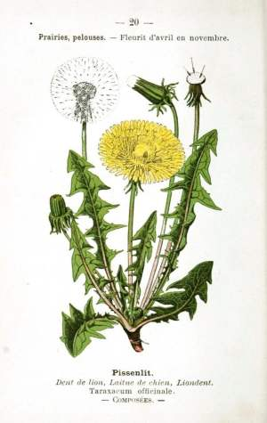 Taraxacum officinale dandelion leaves and flower