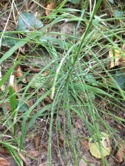 Introduction to Herbal Medicine Equisetum