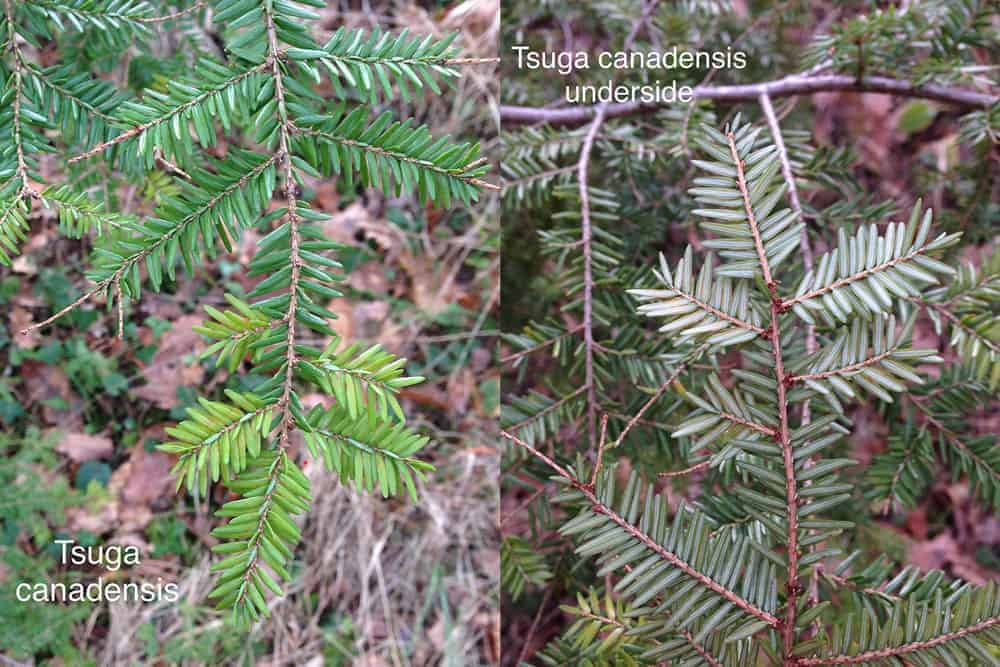 How do you tell the difference between coniferous trees ?