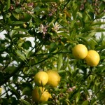 What's Attacking the Citrus Trees?