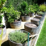 Grow Fruit Trees in Wine Barrels