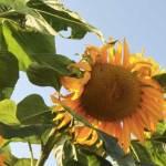 sunflower-gardening