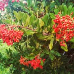 Christmas Decorating Ideas from Your Garden