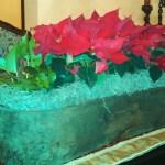 Poinsettia Care and Fun Facts
