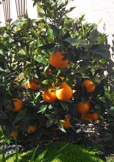 navel orange tree