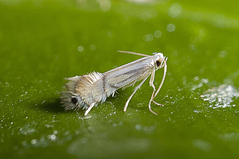 Citrus leafminer adult moth.