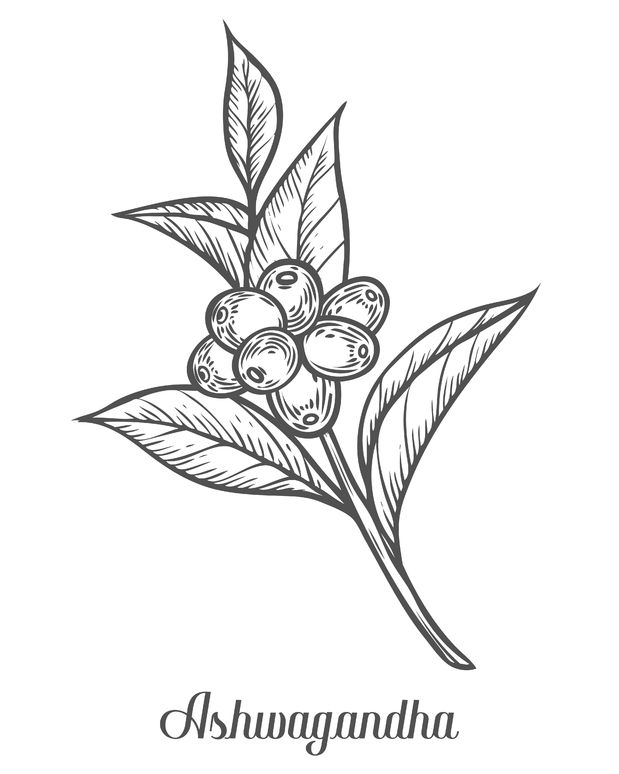 ayurvedic herb withania somnifera, known as ashwagandha, indian ginseng, poison gooseberry, or winter cherry. hand drawn engraved vector sketch etch illustration. ingredient for hair and body care
