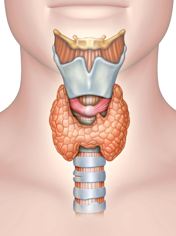 anatomy of the thyroid gland. digital illustration.