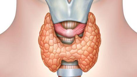 anatomy of the thyroid gland. digital illustration.