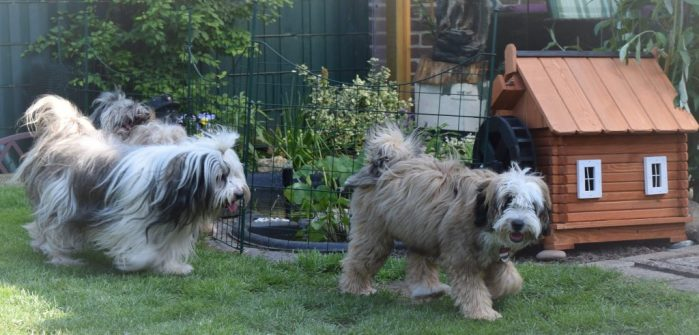 Tibet Terrier von der Xantener Wassermühle