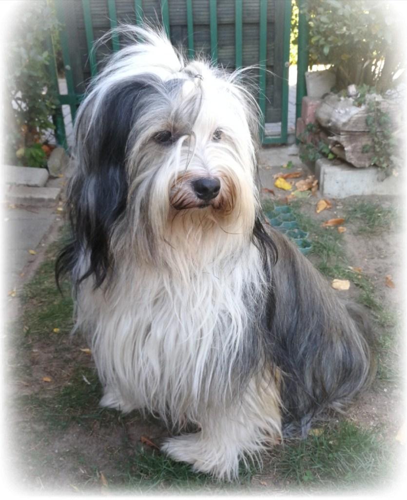 zu den Bildern unserer Tibet Terrier Würfe