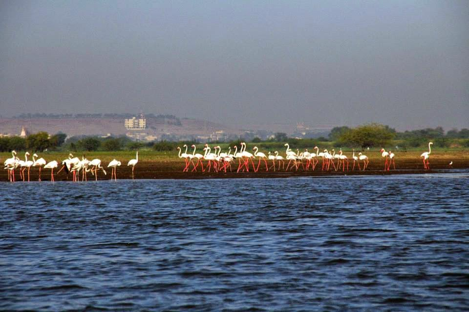 Flamingos: Marching in a flock... getting ready to take off !