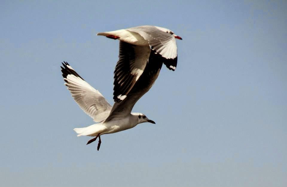 Bhigwan: Sea gulls - two to tango!