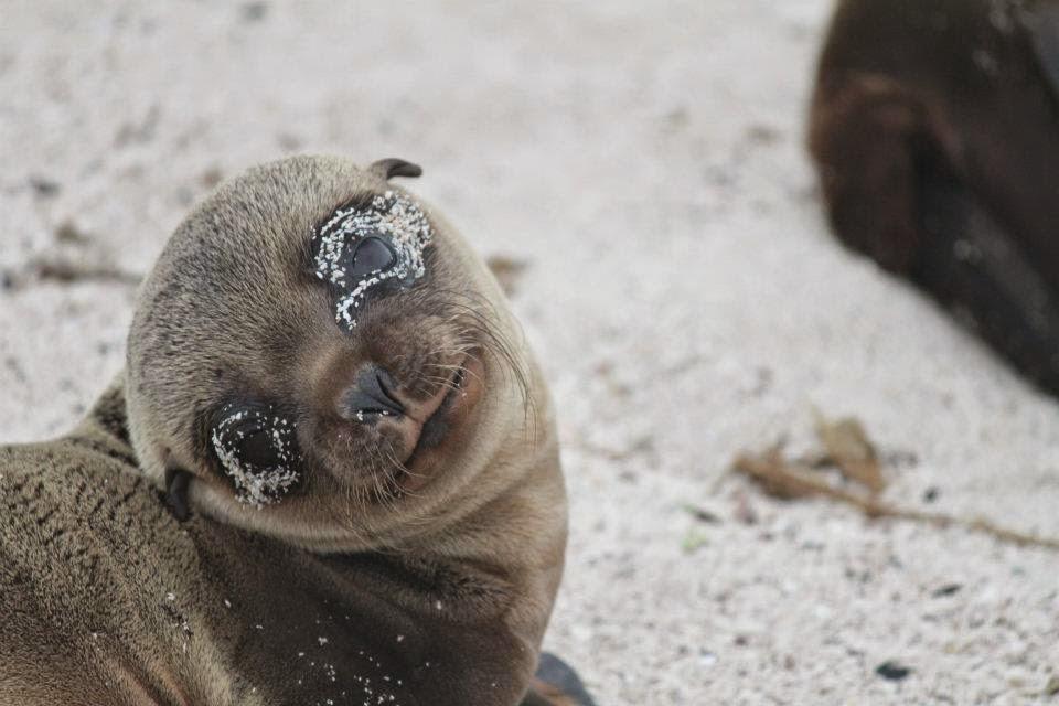 Seal pup at Galapagos