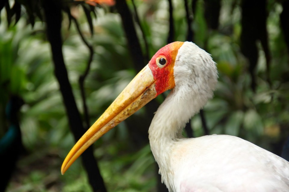 Painted Stork: 'I am watching you!'