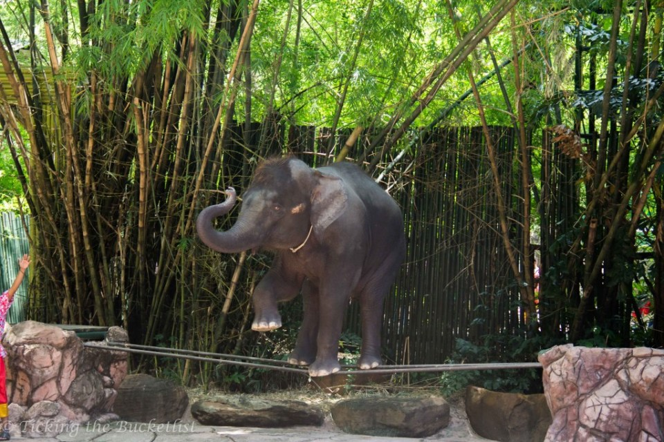 Baby elephant rope walking