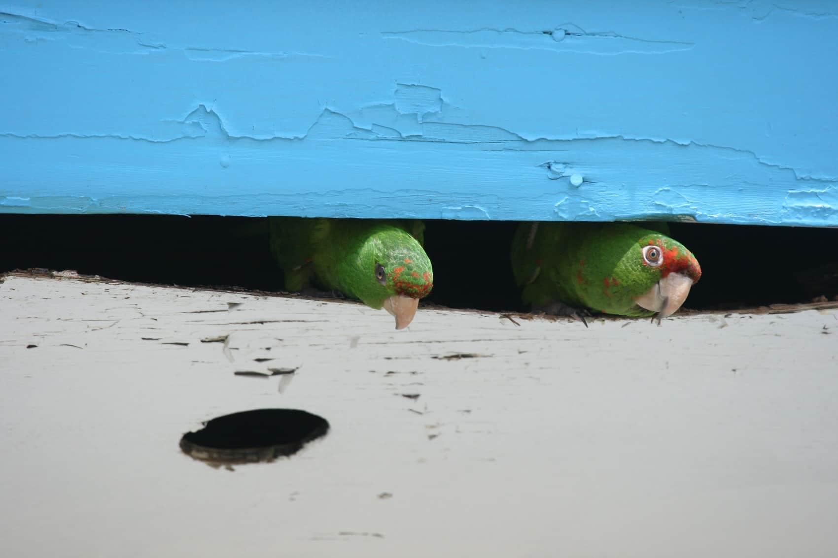 Urban flocks Part 2 5 more mon birds of San José – The Tico