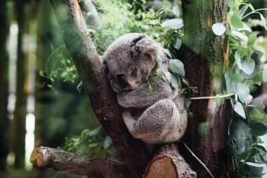 Bus de nuit : mes astuces pour survivre au trajet application koala dormir arbre eucalyptus forêt lumière filtrée branche