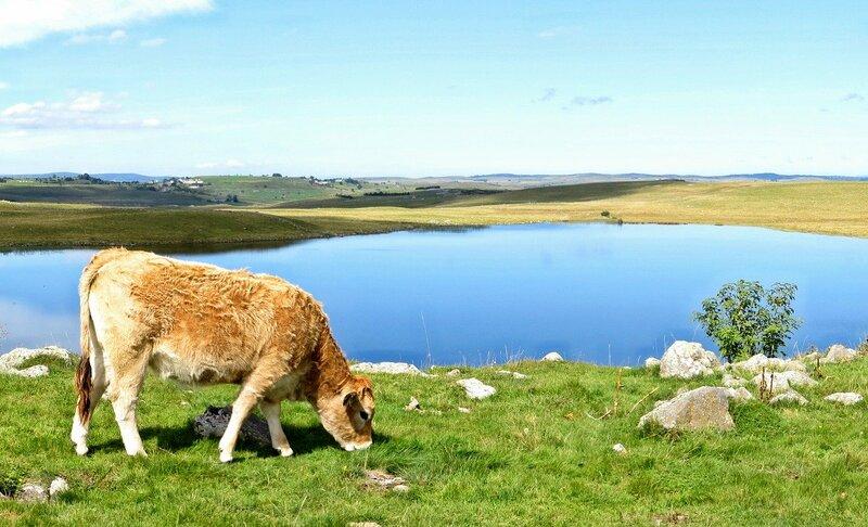 lac d'auvergne vache et prairie