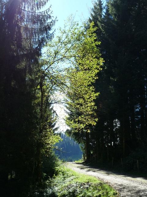 Waldweg in der Adelegg