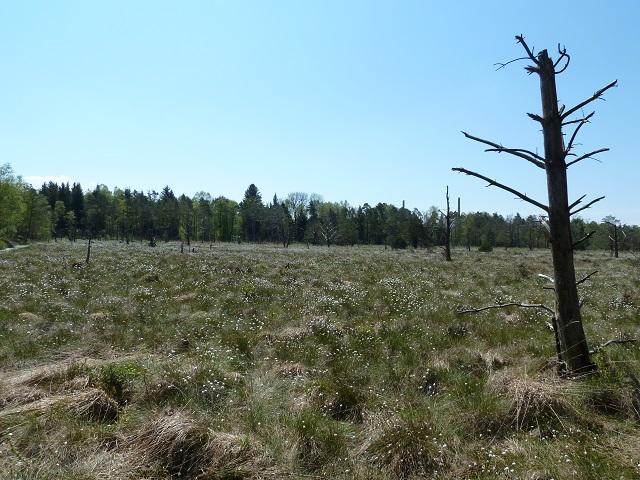blühende Moorwiese im Wurzacher Ried