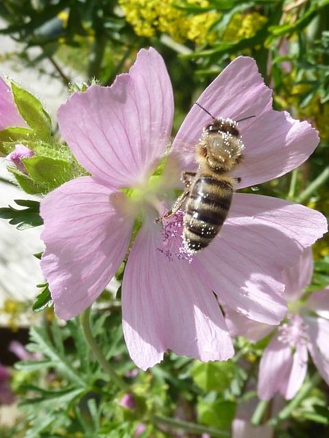 Biene mit Pollen in einer Malvenblüte
