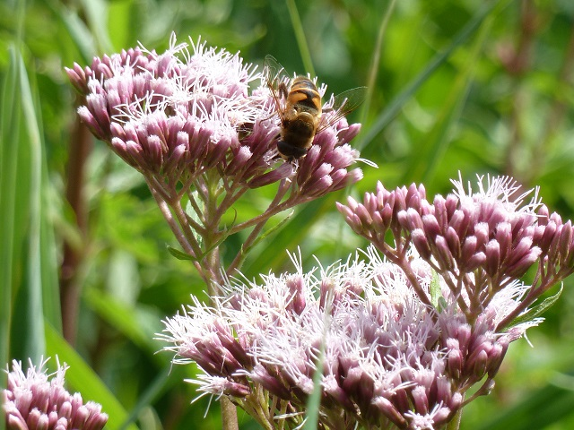 Biene auf Blüte im Benninger Ried