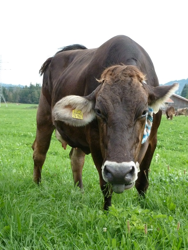 entspanntes Rind auf dem Viehscheidplatz in Kranzegg