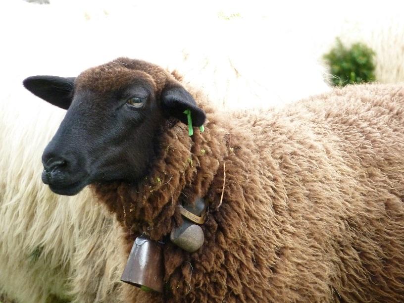 Schaf auf dem Viehscheidplatz in Kranzegg 2016