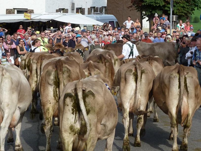 Viehscheid Kranzegg 2016 - Herde von der Schwarz Alpe von hinten